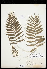 Chamaedorea scheryi image