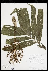 Chamaedorea tepejilote image