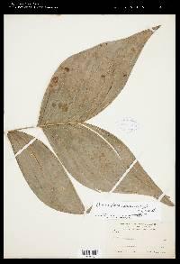 Chamaedorea warscewiczii image