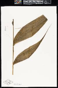 Chamaedorea allenii image