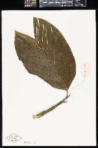 Image of Chamaedorea amabilis