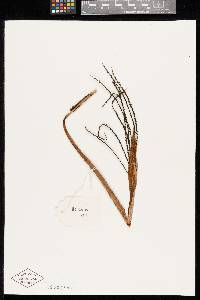 Chamaedorea lucidifrons image