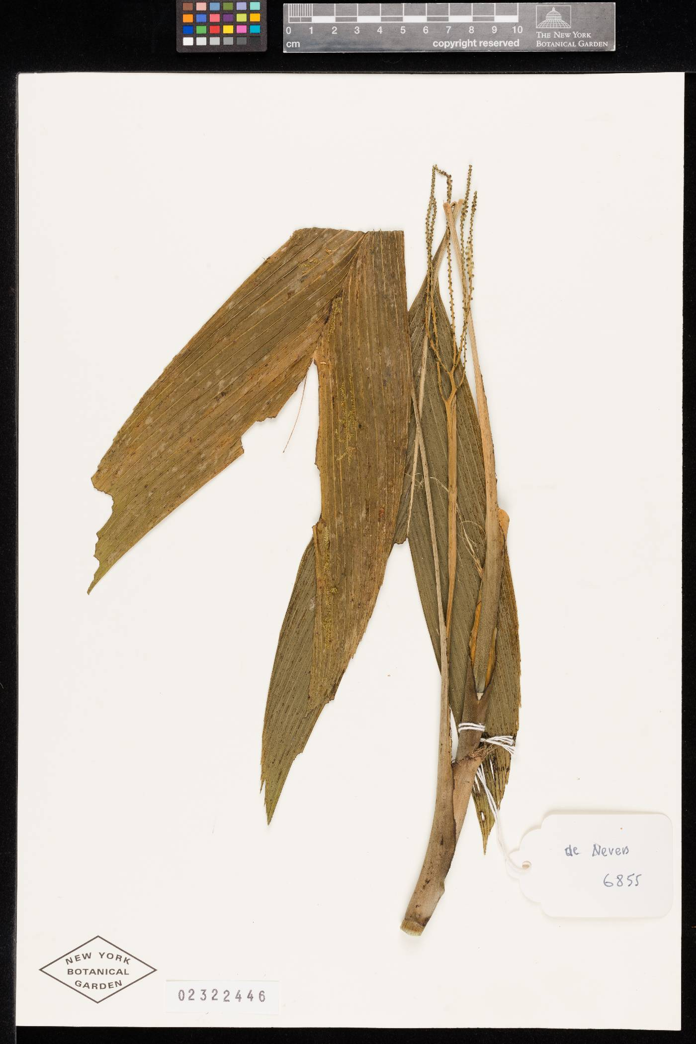 Chamaedorea palmeriana image