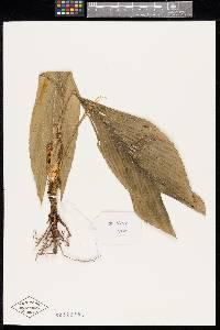 Chamaedorea sullivaniorum image