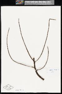 Chamaedorea wendlandiana image
