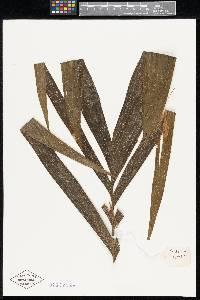 Chamaedorea woodsoniana image