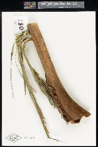 Iriartea deltoidea image