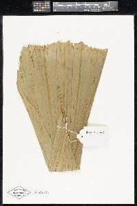 Wettinia radiata image