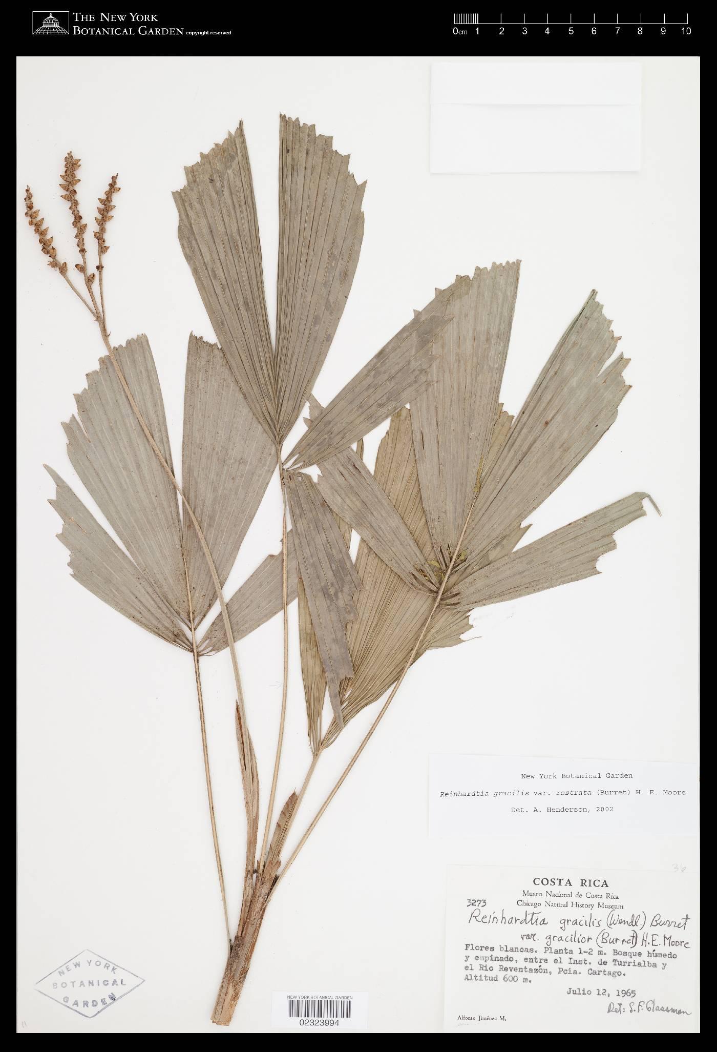 Reinhardtia gracilis image