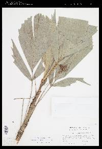 Reinhardtia simplex image
