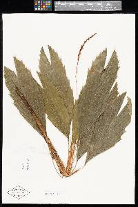 Reinhardtia koschnyana image