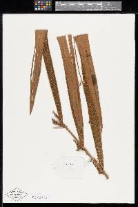 Prestoea ensiformis image