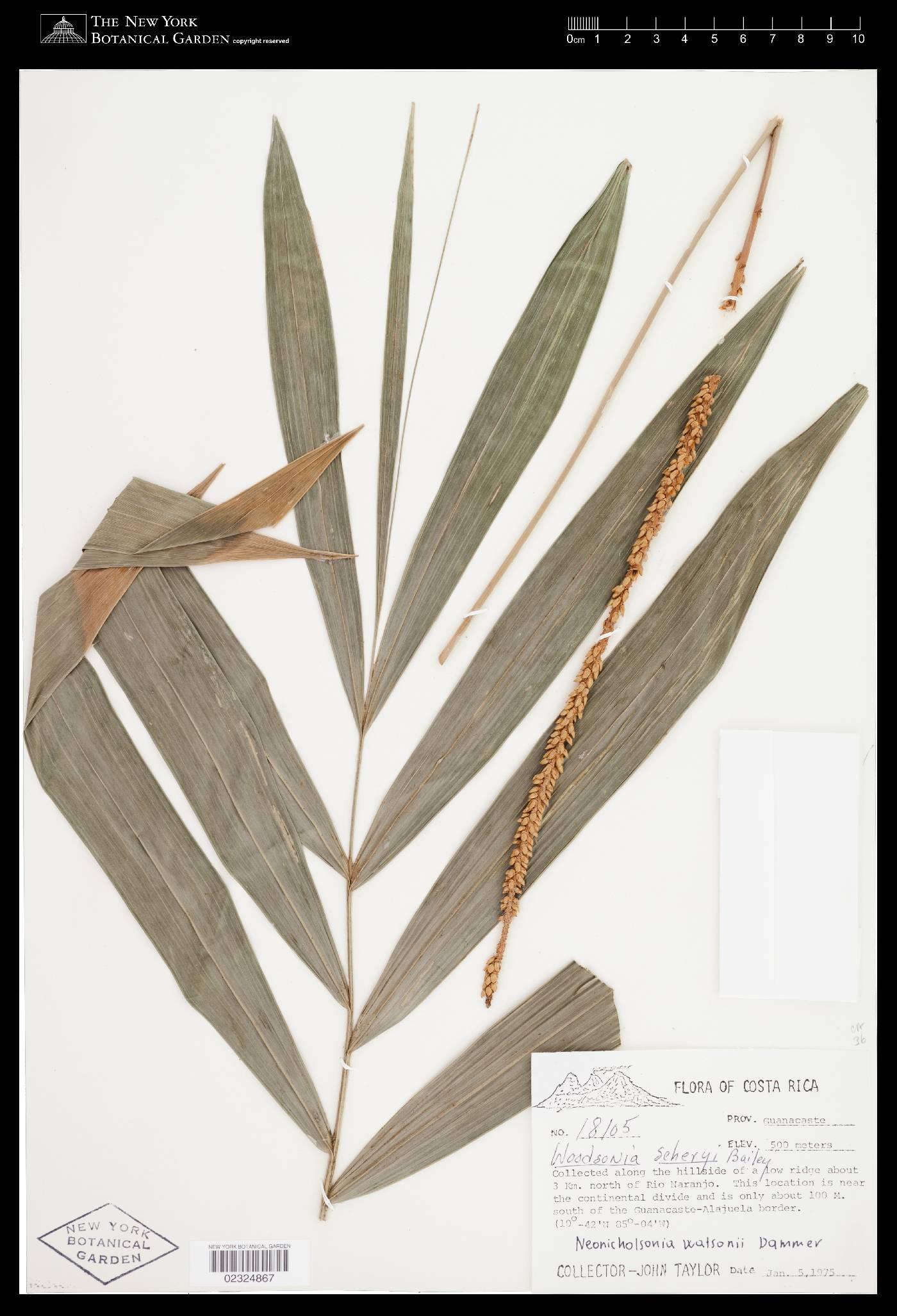 Neonicholsonia watsonii image