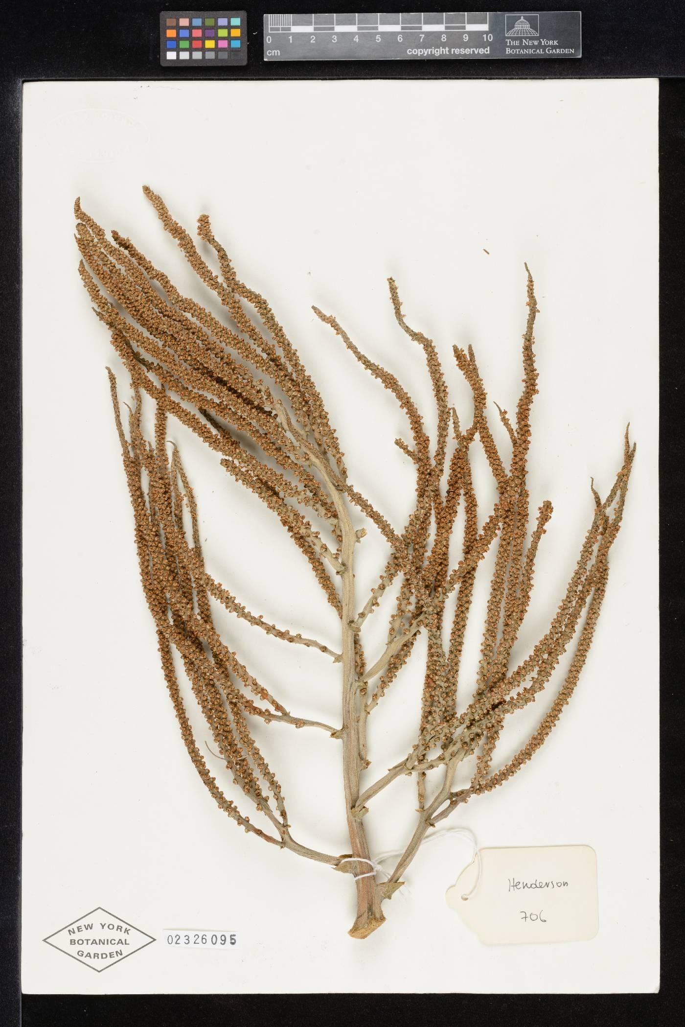 Pelagodoxa henryana image