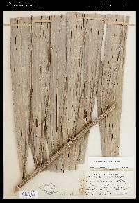 Elaeis oleifera image