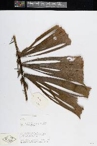 Aiphanes hirsuta image