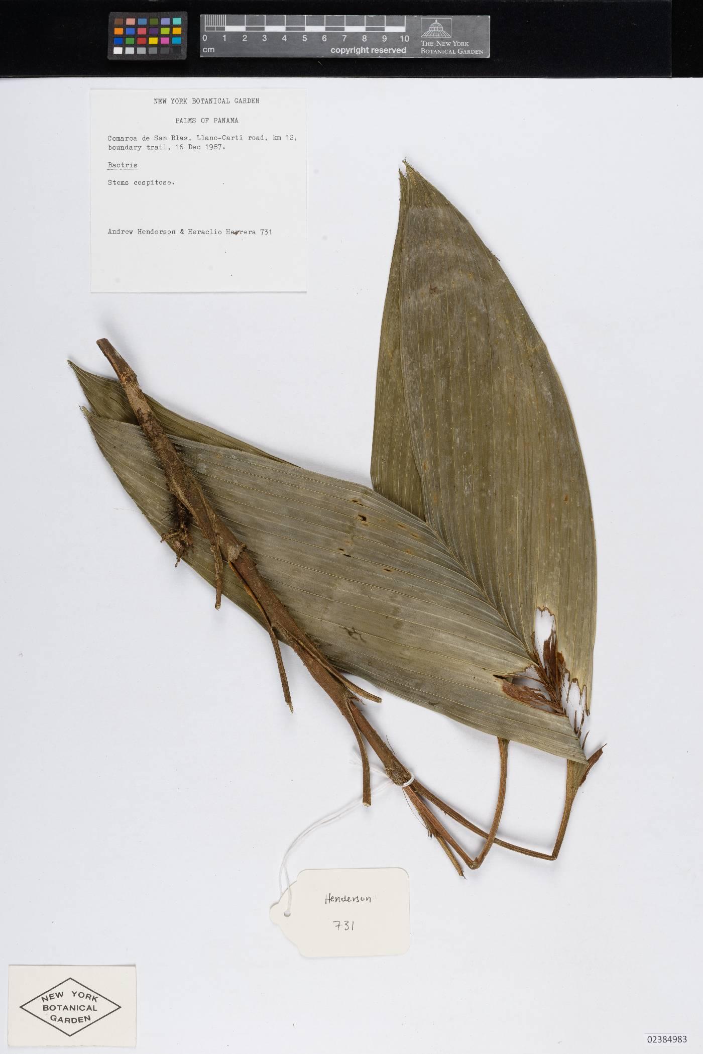 Bactris charnleyae image