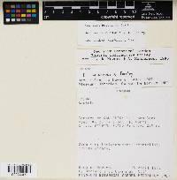 Bactris coloradonis image