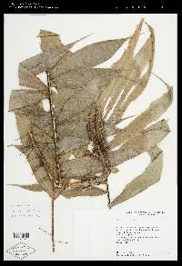 Bactris dianeura image