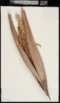 Bactris gasipaes image