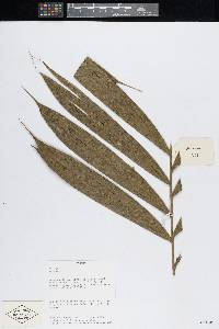 Bactris gracilior image