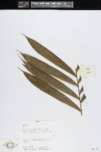 Bactris gracilior image