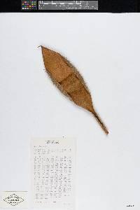 Bactris guineensis image