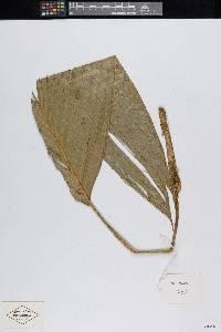 Bactris hondurensis image