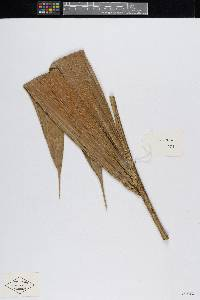Image of Bactris kunorum