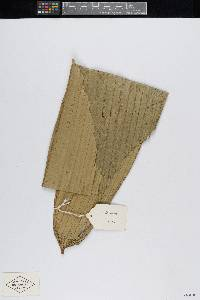 Bactris kunorum image