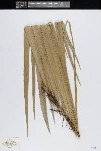 Bactris major image