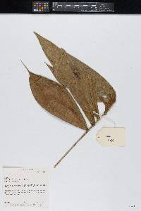 Image of Bactris divisicupula