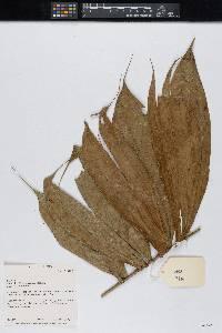 Bactris maraja image