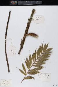 Bactris panamensis image