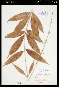 Desmoncus myriacanthos image