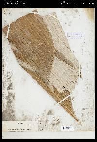 Astrocaryum alatum image