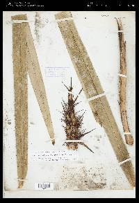Astrocaryum standleyanum image