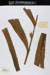 Pholidostachys dactyloides image
