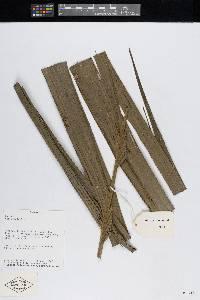 Pholidostachys pulchra image