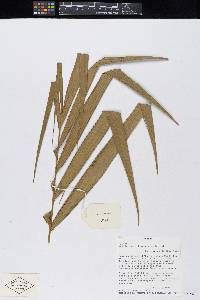 Welfia regia image