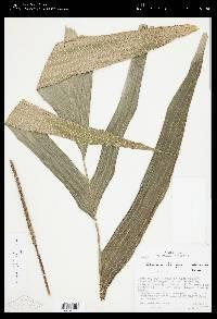 Calyptrogyne brachystachys image