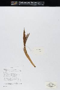 Calyptrogyne anomala image