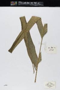 Calyptrogyne costatifrons image
