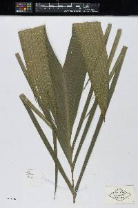 Calyptrogyne ghiesbreghtiana image