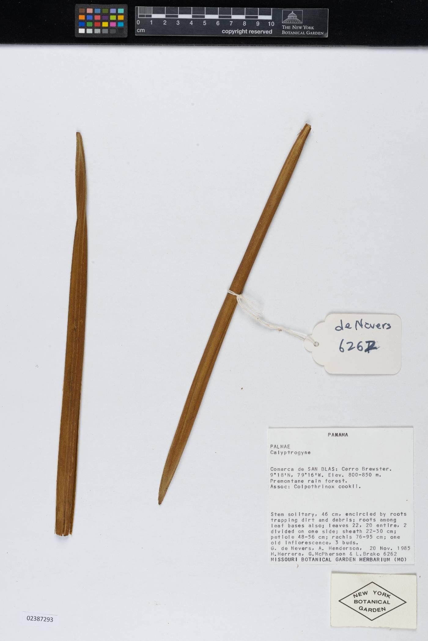 Calyptrogyne kunorum image