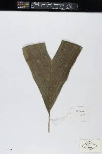 Calyptrogyne panamensis image