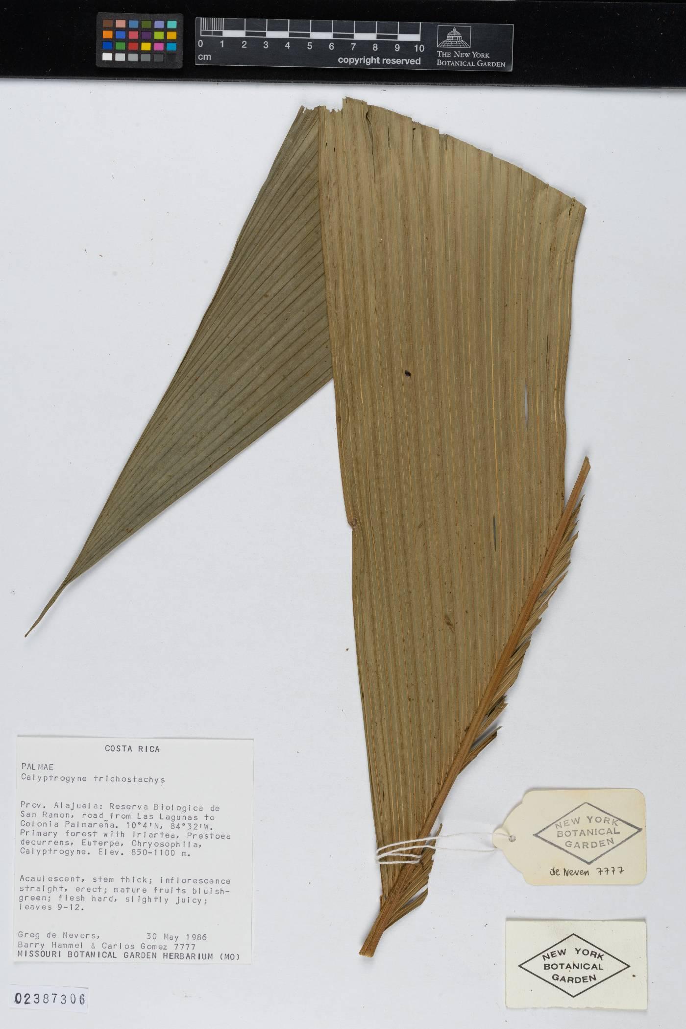 Calyptrogyne trichostachys image