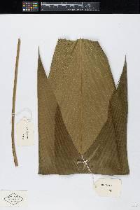 Asterogyne martiana image
