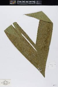 Geonoma congesta image