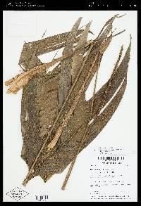 Geonoma cuneata image